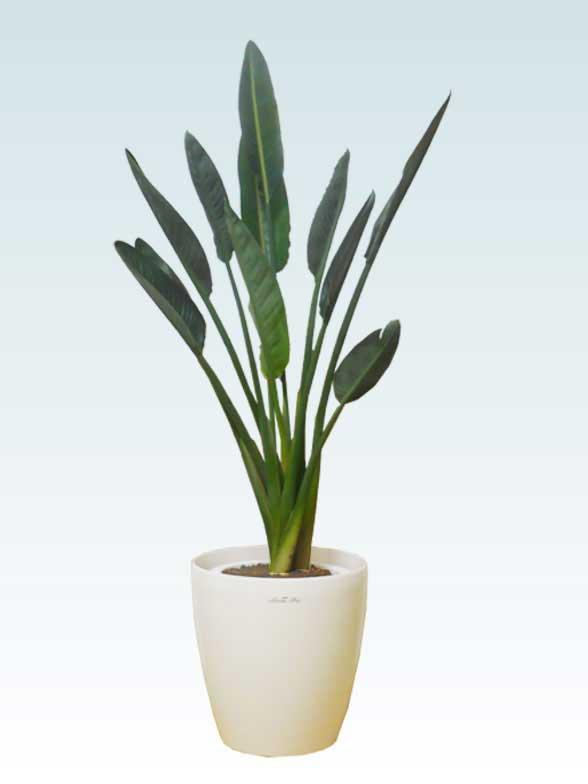 ストレリチア・レギネ(ラスターポット付) Mサイズ/観葉植物の販売 ...